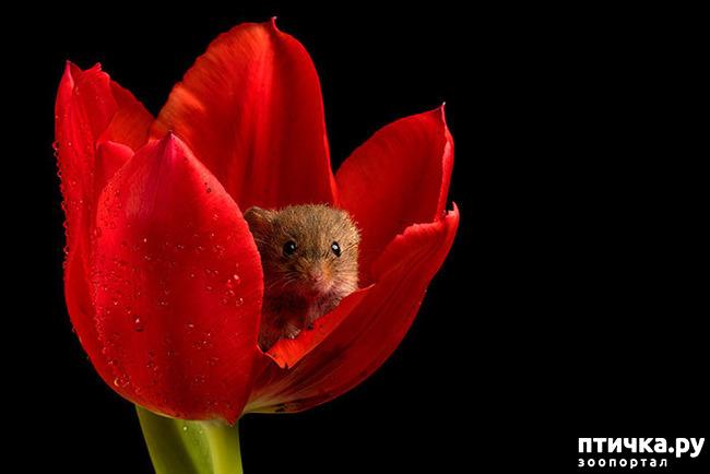 фото 2: Мышки - норушки