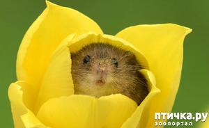 фото: Мышки - норушки