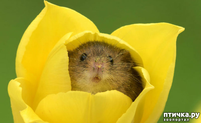фото 1: Мышки - норушки