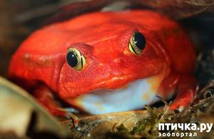 фото: Лягушка помидор или Томатный узкорот.