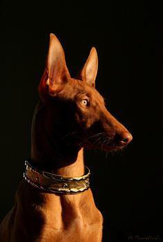 фото: Фараонова собака