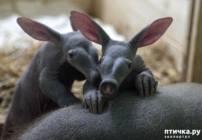 фото 3: Если не знали, знакомьтесь: очень редкие и удивительные экзотические животные.