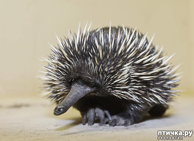 фото 4: Если не знали, знакомьтесь: очень редкие и удивительные экзотические животные.