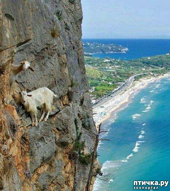 фото 14: Про всяких козлов (в хорошем смысле)