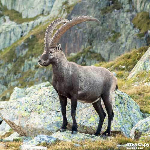 фото 3: Про всяких козлов (в хорошем смысле)