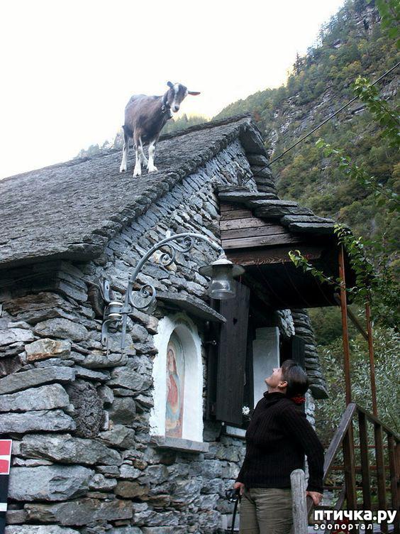 фото 13: Про всяких козлов (в хорошем смысле)