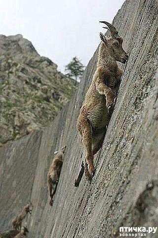 фото 1: Про всяких козлов (в хорошем смысле)