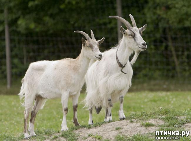 фото 9: Про всяких козлов (в хорошем смысле)
