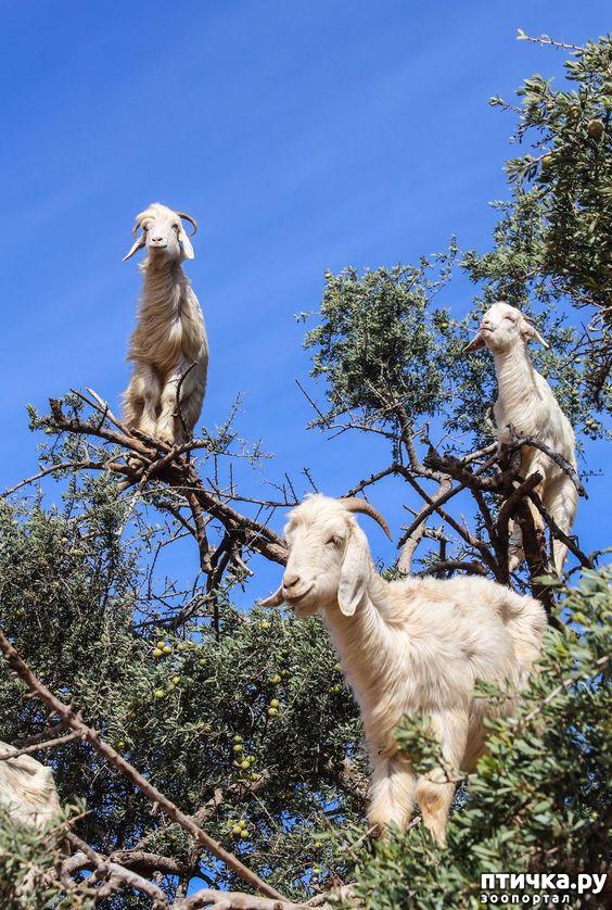 фото 10: Про всяких козлов (в хорошем смысле)