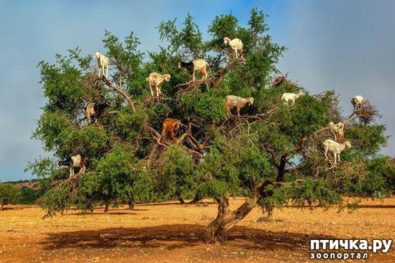 фото 11: Про всяких козлов (в хорошем смысле)