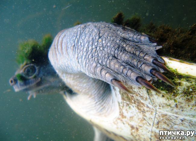 фото 2: Черепаха реки Мэри