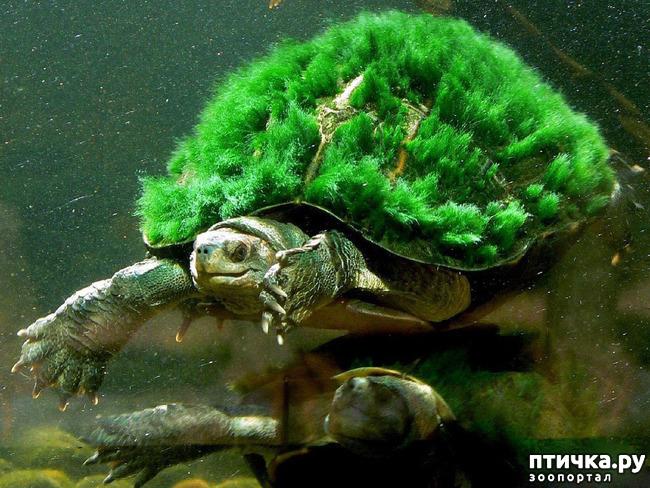 фото 3: Черепаха реки Мэри