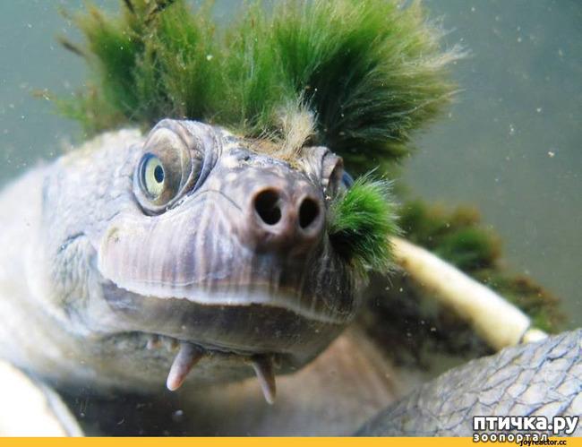 фото 4: Черепаха реки Мэри