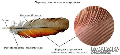 фото 2: Как устроено перо и чем оно уникально.