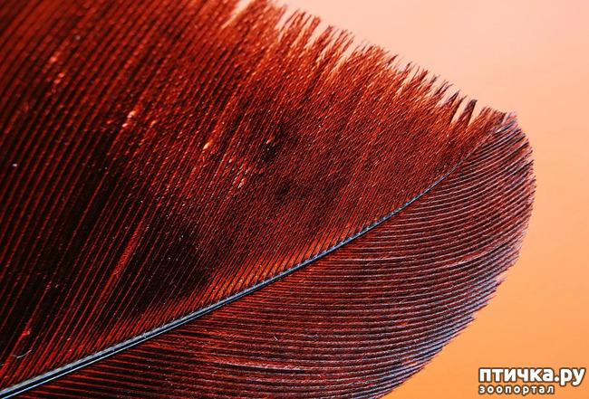 фото 1: Как устроено перо и чем оно уникально.