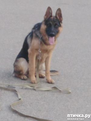 фото: Профессиональная дрессировка породистых собак в Краснодаре
