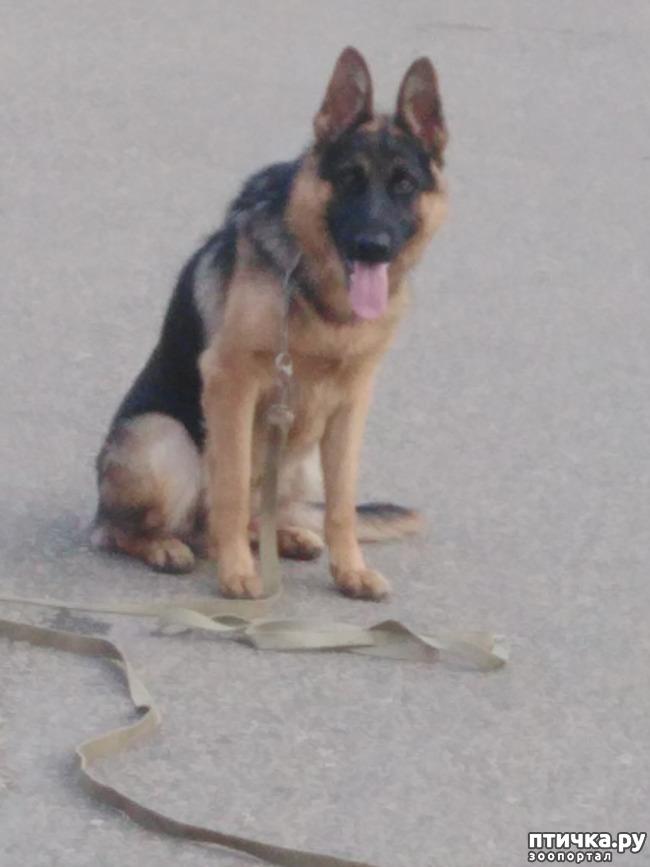 фото 1: Профессиональная дрессировка породистых собак в Краснодаре