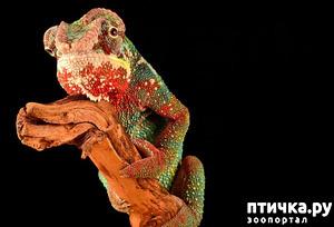 фото: Многоликий хамелеон.