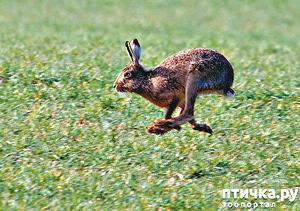 фото: Заяц беляк и заяц русак