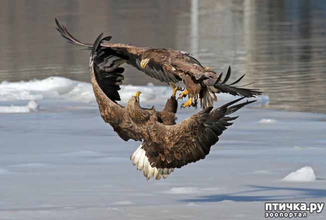 фото 5: Орланы. Д. п.