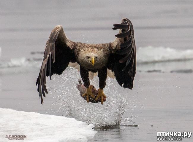 фото 3: Орланы. Д. п.