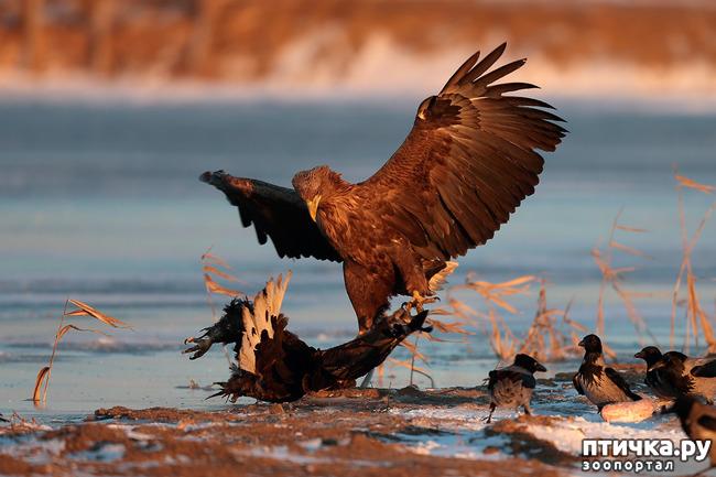 фото 11: Орланы. Д. п.