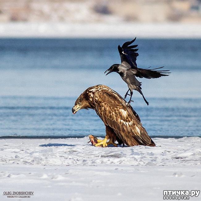 фото 1: Орланы. Д. п.