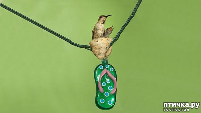 фото 11: Пернатые архитекторы. Универсальные колибри