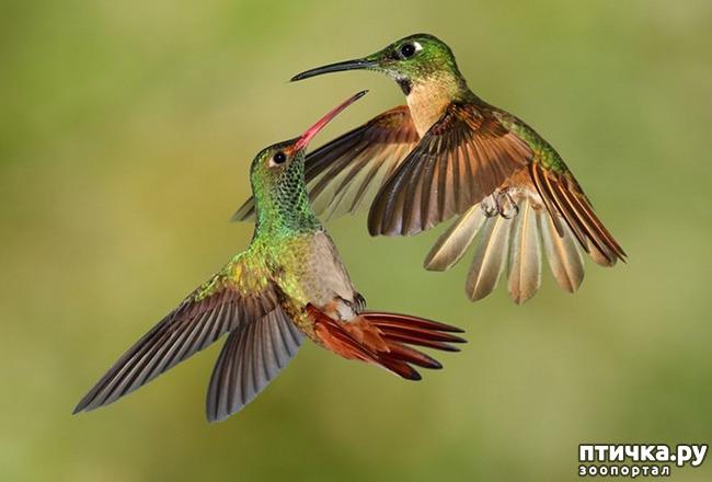 фото 2: Пернатые архитекторы. Универсальные колибри