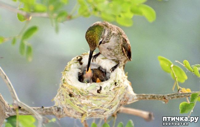 фото 4: Пернатые архитекторы. Универсальные колибри
