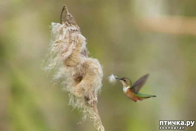 фото 5: Пернатые архитекторы. Универсальные колибри