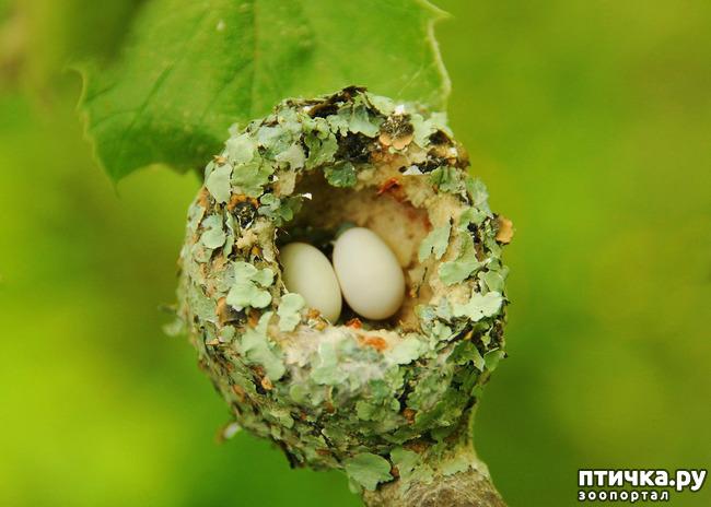 фото 6: Пернатые архитекторы. Универсальные колибри