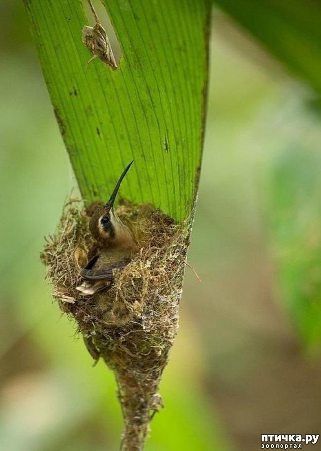 фото 8: Пернатые архитекторы. Универсальные колибри