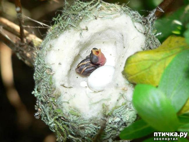 фото 12: Пернатые архитекторы. Универсальные колибри