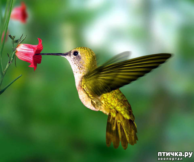 фото 17: Пернатые архитекторы. Универсальные колибри