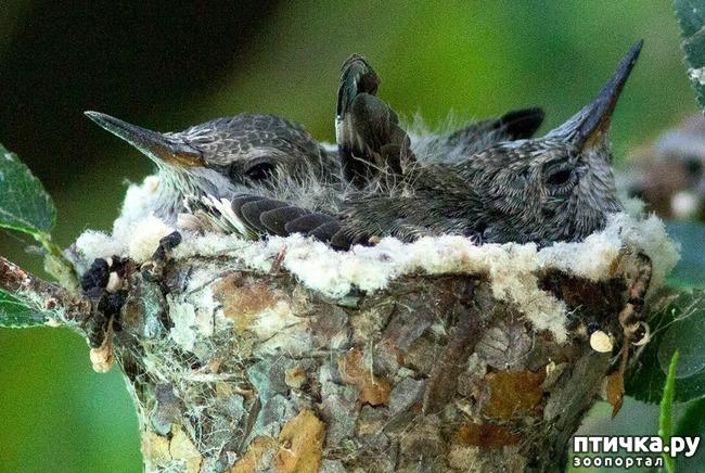 фото 7: Пернатые архитекторы. Универсальные колибри