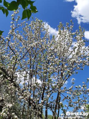 фото: Яблони в цвету - какое чудо!