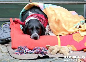 фото: Питомниковый кашель или собачий грипп