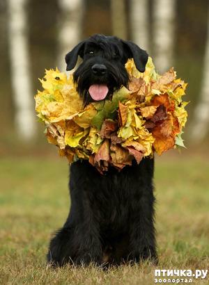 фото: Осенний ризеншнауцер!