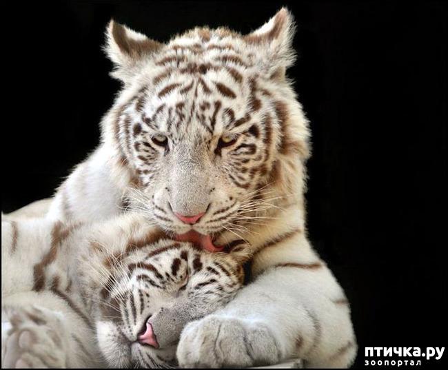 фото 12: Кошки: домашние и дикие