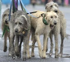 фото 2: Кому подойдет ирландский волкодав?