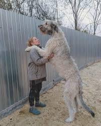 фото 4: Кому подойдет ирландский волкодав?
