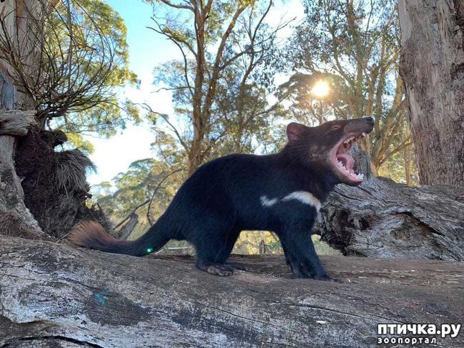 фото 4: Тасманский дьявол