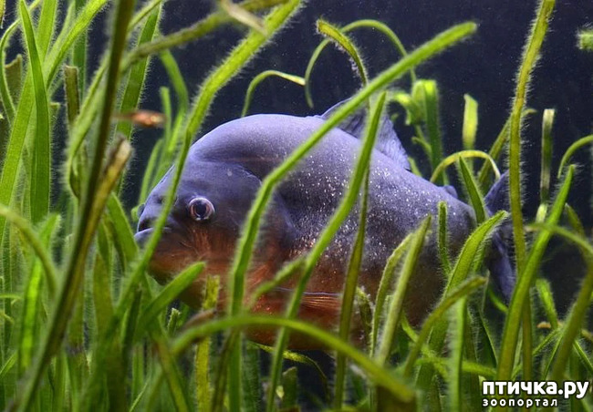 фото 1: Пираньи в аквариуме: а стоит ли?