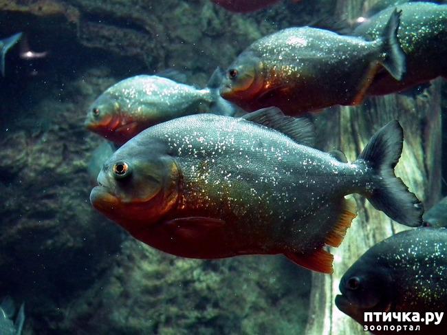 фото 4: Пираньи в аквариуме: а стоит ли?