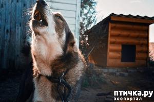 фото: О собаках на цепи.