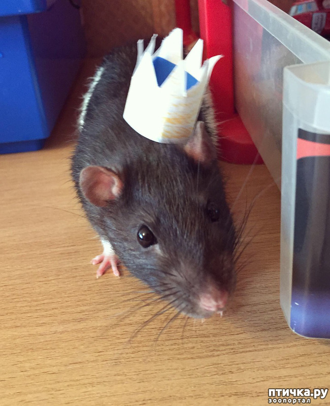фото 1: Король всех крыс!))