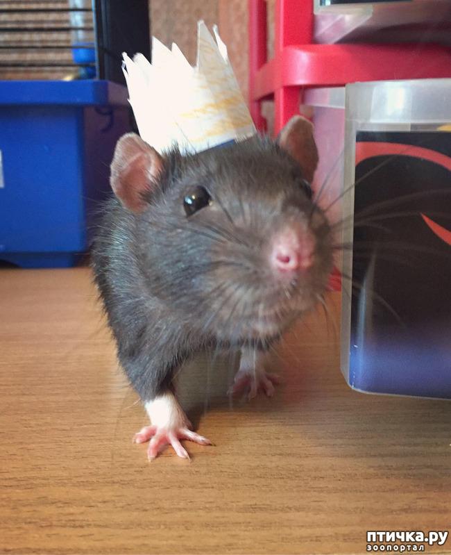 фото 2: Король всех крыс!))
