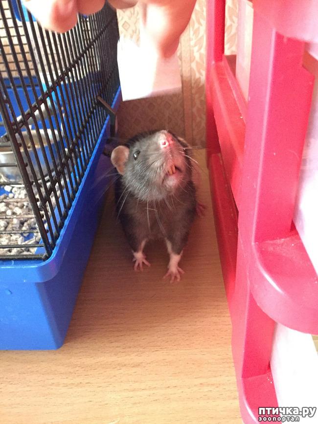 фото 3: Король всех крыс!))