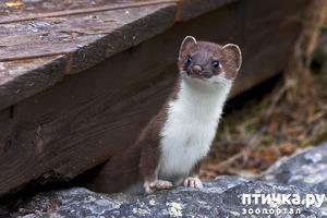 фото: Самый маленький хищник. Ласка.